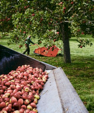 Harvesting cider apples in Dorset, UK